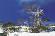 snow-gums-snowy-mountains